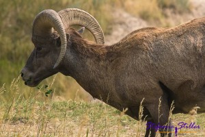 Big Horn Sheep in den Badlands